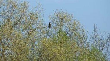 Crow. — Stock Video