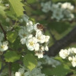 Stock Video: Bee on hawthorn.