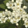 Stock Video: Blossoming hawthorn.