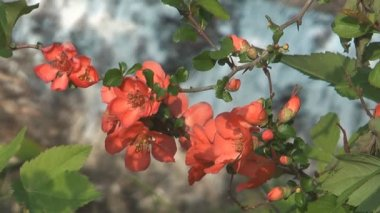 Chaenomeles japonica. — Stock Video