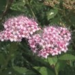 Stock Video: Spiraea.