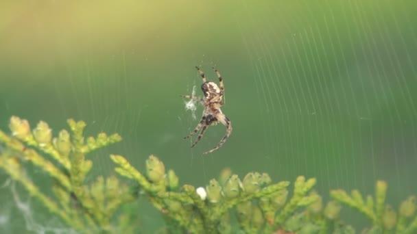 Araña. — Vídeo de stock