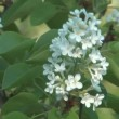 Stock Video: Blossoming white lilac.