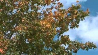 Maple tree. — Stock Video