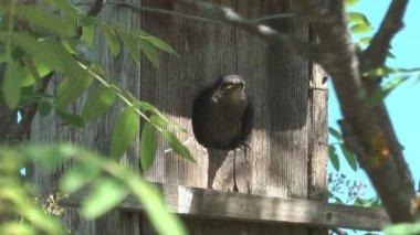Fledgling starlings. — Stock Video