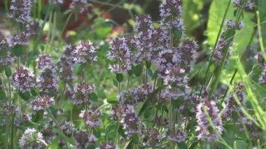 Flores de tomilho. — Vídeo Stock