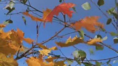 árbol de arce. — Vídeo de stock