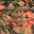 Stock Video: Chaenomeles japonica.