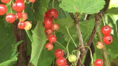 Redcurrant. — Stock Video