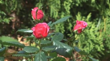 Roses. — Stock Video