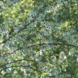 Blossoming cherry-tree. — Stock Video