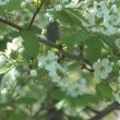 Blossoming hawthorn. — Stock Video