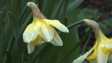 Narcissus. — Vídeo de Stock