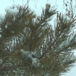 Stock Video: Pine tree.