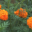 Stock Video: Orange marigold.