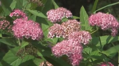 Spiraea. — Stockvideo