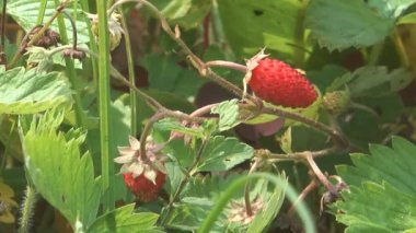 Wild strawberries. — Stock Video
