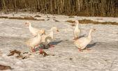 White geese. — Stock Photo