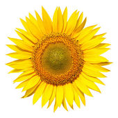 Sunflower isolated — Stock Photo
