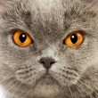 Royalty-Free Stock Photo: British Shorthair Cat