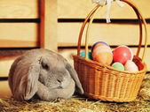 Conejo lop-earred — Foto de Stock