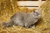 Gatto british shorthair — Foto Stock