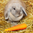 Lop-earred Rabbit - Stock Photo