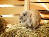 Lop-earred coelho — Foto Stock