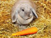Lop-earred Rabbit — Stock Photo