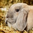 Lop-earred Rabbit — Stock Photo