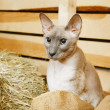 Peterbald on Hayloft — Stock Photo