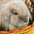 Lop-earred Rabbit — Stockfoto #25277755