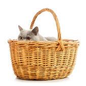 英国短毛猫 — 图库照片