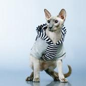 Peterbald Cat in Hoody — Stock Photo