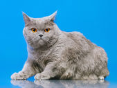 British Shorthair Cat — Stock Photo