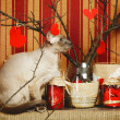 Stock Photo: Peterbald Cat