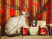 Peterbald Cat — Stock Photo