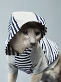 Gatto peterbald in felpa — Foto Stock