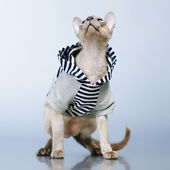 Peterbald Cat in Hoody — Stock Photo