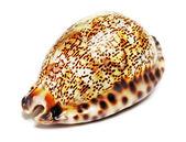 貝殻 — ストック写真
