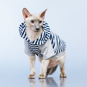 Kot peterbald w z kapturem — Zdjęcie stockowe