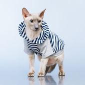 Otrhanec kočka mikina — Stock fotografie