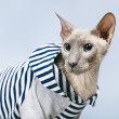 Stockfoto: Peterbald Cat in Hoody