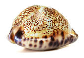 Sea Shell — Foto Stock
