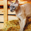 Peterbald Cat on Hayloft — Foto Stock #37538871