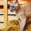 Foto de Stock  : Peterbald Cat on Hayloft