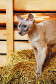 Peterbald Cat on Hayloft — Stock Photo