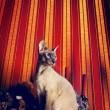 Foto de Stock  : Peterbald Cat