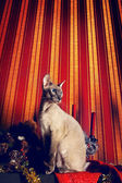 Peterbald Cat — Stock Photo
