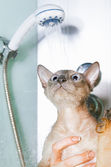Peterbald Cat in Shower — Stock Photo